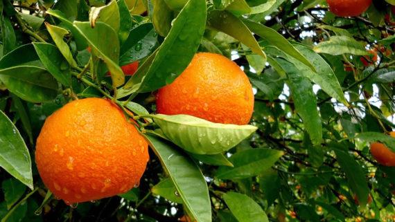Arance della Sicilia di elevata qualità certificata