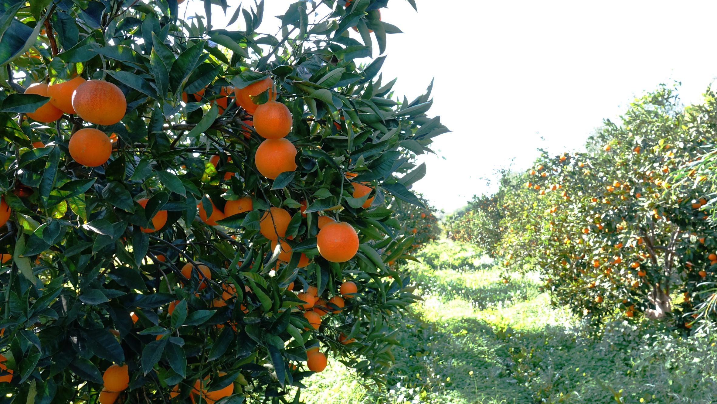 L'Arancia Tarocco nella cultura siciliana